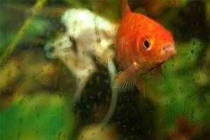 Cómo preparar los pescados del tanque de agua