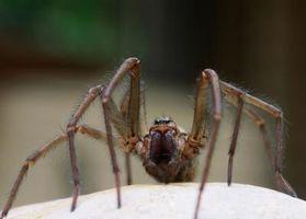 Grandes y arañas comunes de Illinois