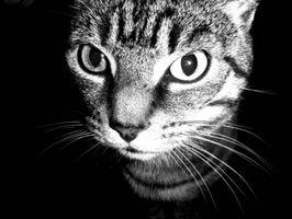 La salud del gato y diarrea con sangre