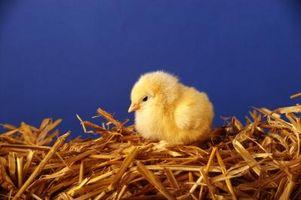 Comederos de pollo