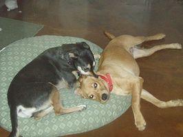 Cómo Housebreak un perro rápidamente