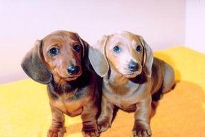 Información sobre cómo criar perros del Dachshund