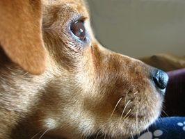 Los tumores en el cuello y la cara de un perro