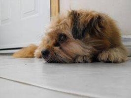 Signos y síntomas de la hipertensión en perros