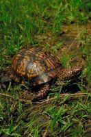 ¿Cómo saber la edad de una tortuga de caja Tierra
