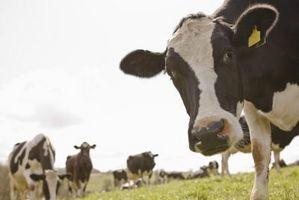Signos y síntomas de la rabia en el ganado