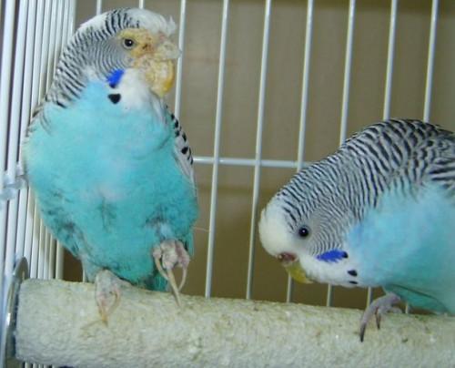 Enfermedades de las Aves de mascotas