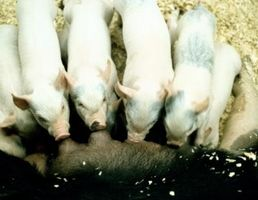 Cómo alimentar a 8 semanas de edad, los cerdos