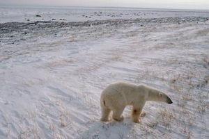 Las especies de la tundra