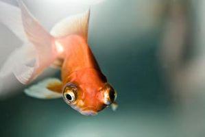 Llagas en Goldfish