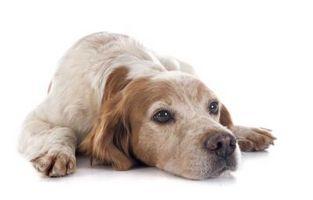 Los síntomas del linfoma en perros