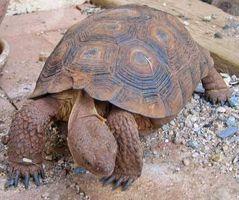 Cómo cuidar de una tortuga de desierto