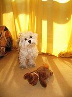 Cómo poner gotas para los oídos en perros pequeños