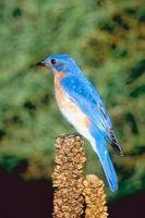 Ideas del tatuaje del Bluebird