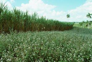 ¿Qué es el jugo de caña evaporado orgánico?