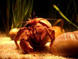 Cómo cuidar a un cangrejo ermitaño Agua
