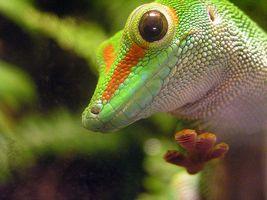 Gecko del día de Madagascar Hábitat