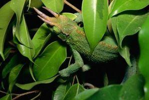 Cómo cuidar a un lagarto camaleón enano