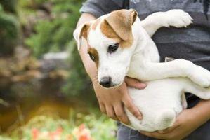 Cómo limpiar los oídos de un perro con hamamelis