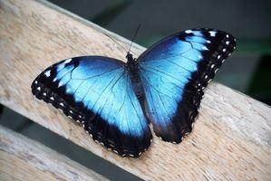 El significado de una mariposa azul