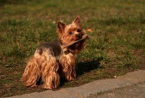 Adopción del perro hipoalergénico