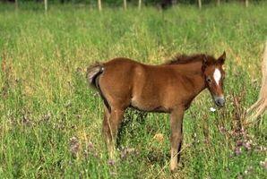 Cómo hacer que un bebé del caballo de comer el grano