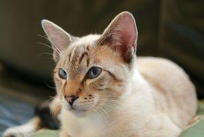 La cirugía del oído por un gato