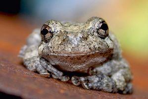 La información sobre las ranas que viven en Georgia