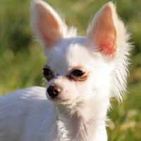 Mi Chihuahua no va a jugar con otros perros