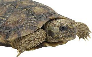 Características de una tortuga acuática de Diamondback