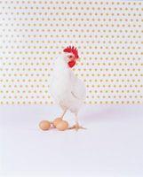 Especies de las gallinas ponedoras