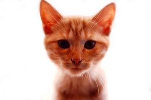 ¿Por qué los gatos van Limp cuando se agarra el cuello?