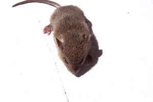 Cómo deshacerse de las ratas y ratones sin dañar Mascotas