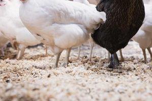 Cómo utilizar cal agrícola para gallineros