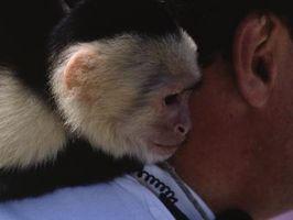 Cómo criar a un bebé mono capuchino
