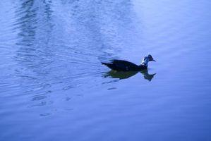 ¿Qué hacen los patos comer en cautiverio?