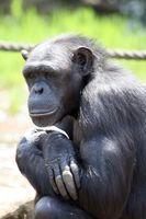 Clasificaciones por especies de chimpancé