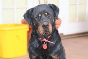 Rottweiler canina y la enfermedad renal