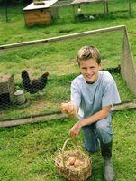 Cómo Incubar huevos de pollo grande Fowl