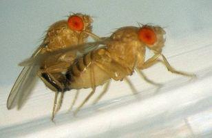 ¿Cómo se reproduce una mosca?