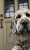 Cómo entrenar a un perro que pasar por una puerta para perros