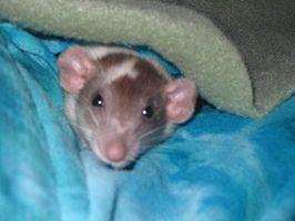 Cómo criar ratas como mascotas