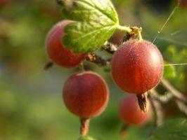 Cómo hacer vino orgánico de la grosella espinosa