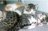 Clindamicina para la enfermedad felina