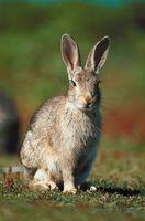 Etapas de la vida de los conejos salvajes