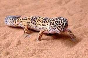 Macho geckos leopardo vs. Geckos leopardo hembra