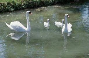 Cómo cuidar los cisnes