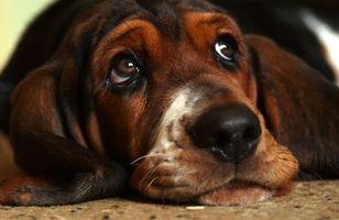 Formación Colorado Coonhound Rescate