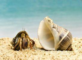 Cómo criar cangrejos ermitaños de agua salada