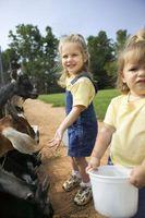 Cómo cuidar de las cabras Boer